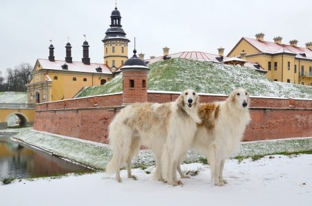Two Borzoi dogs standing