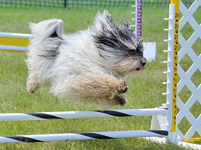 havanese dog doing an agility trial