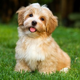 havanese dog on the grass