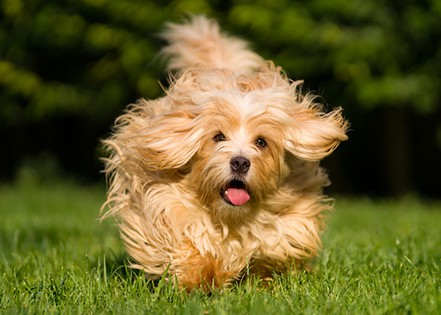 havanese dog running on the grass