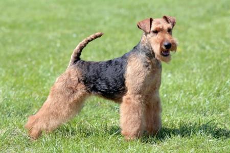 Welsh Terrier dog standing