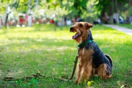 Welsh Terrier resting