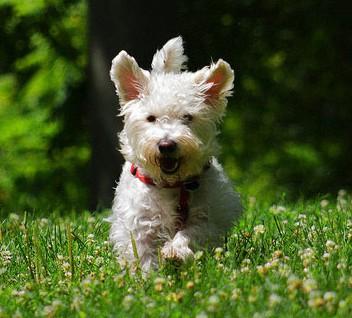 westiepoo running in grass