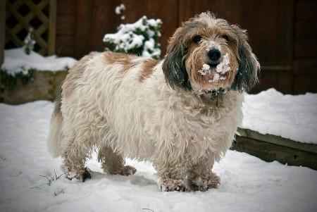 Petit Basset Griffon Vendeen on snow