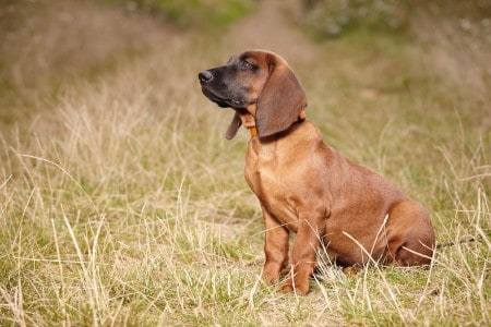Young Bavarian mountain scent hound