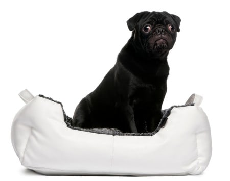 Black pug sitting in dog bed in front of white