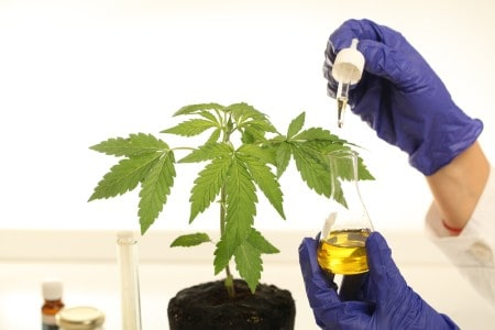 Plant in laboratory medical marijuana cannabis oil