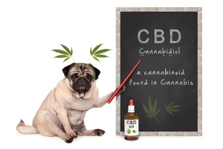 Pug puppy dog with hemp leaves diadem pointing at blackboard