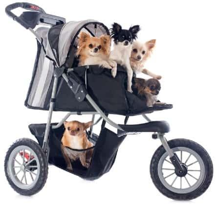 Chihuahuas in push chair