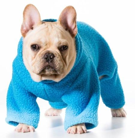 Dog wearing blue coat