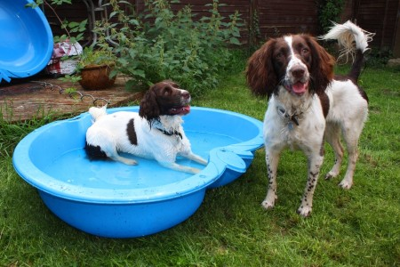 Two working type english springer spaniels