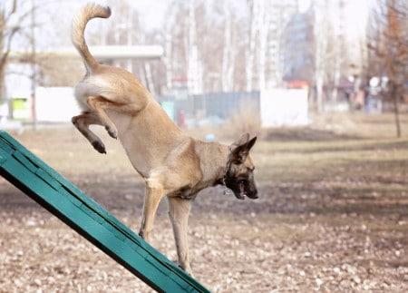 Dog on a ramp