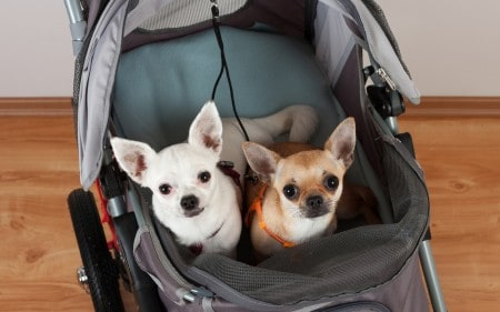 Two dogs in a stroller