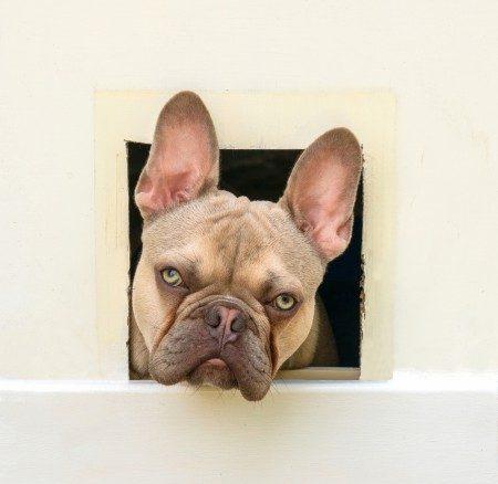 French Bulldog looking through door flap
