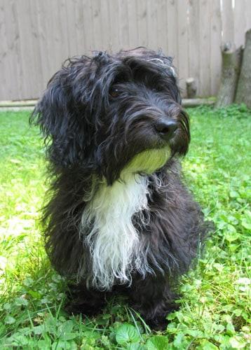 "Photo of Jack-A-Poo, Jack Russell Terrier-Poodle hybrid, named ""Obi."""