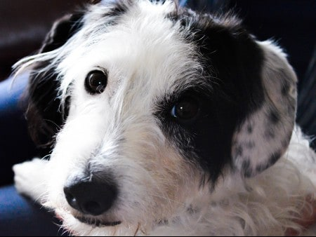 Jackapoo dog named Jessie