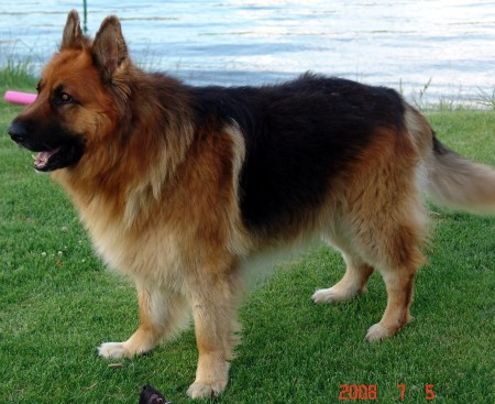 King Shepherd dog standing