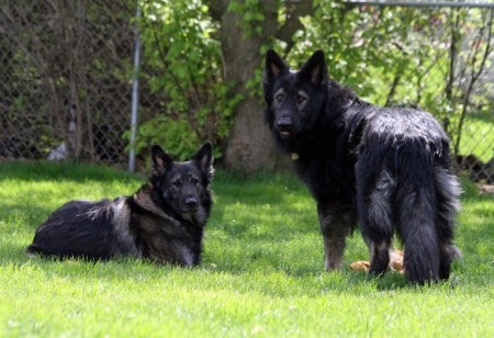 Two King Shepherd dogs outdoor