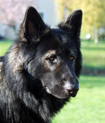 King Shepherd dog outdoor
