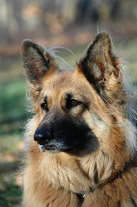 King Shepherd dog