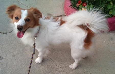 Kokoni dog on a leash