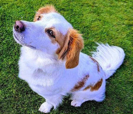 Kokoni dog sitting on grass
