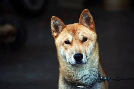 Korean Jindo dog closeup photo