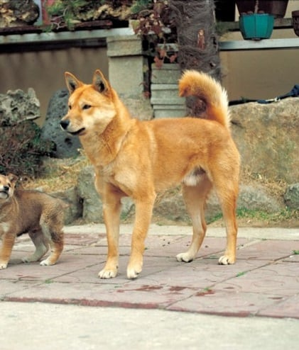 Brown Korean Jindo standing with a puppy