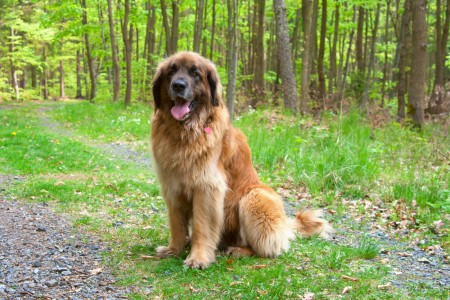 Leonberger dog in the woods