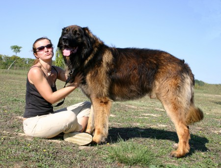 Leonberger dog standing beside a woman