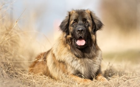 Leonberger dog sitting