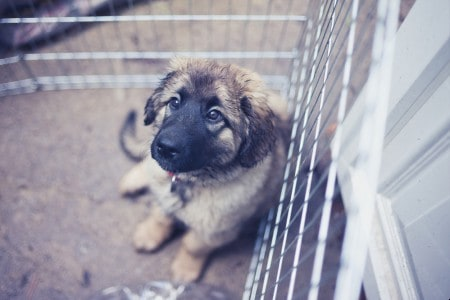 Leonberger puppy in kennel outside