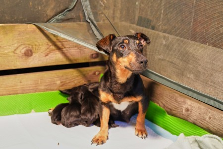 Mother dog with litter of newborn jack russell terrier puppies
