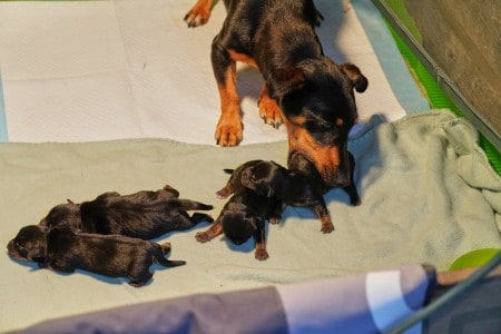 Newborn jack russell terrier pups, mother takes puppy in mouth to move in a whelping box