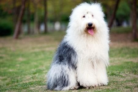 Old English sheepdog sitting on grass