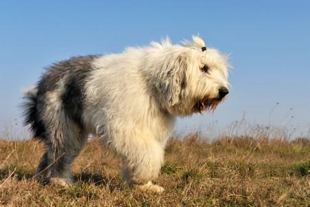 Old English sheepdog outdoor