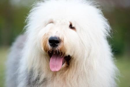 Old English sheepdog closeup