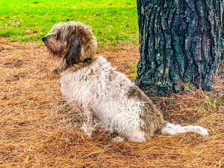 Petit Basset Griffon Vendeen sitting outdoors