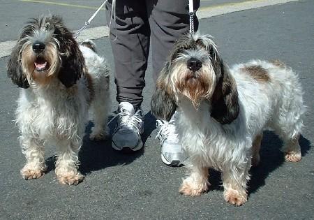 2 Petit Basset Griffon Vendeen dogs outdoor