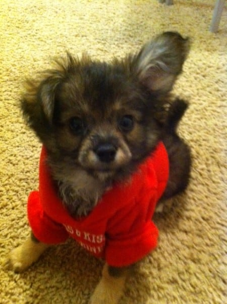 Pomchi puppy wearing a red shirt
