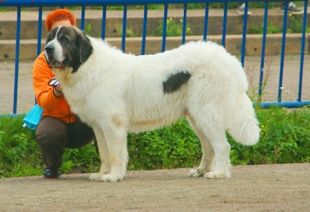 Pyrenean Mastiff standing beside its owner