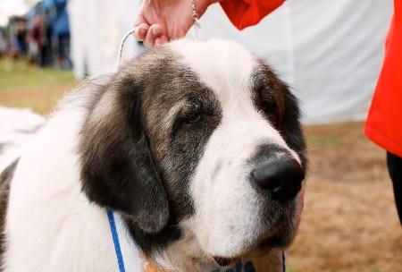 Pyrenean Mastiff dog closeup