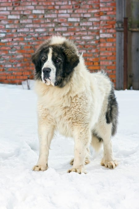 Pyrenean Mastiff dog standing on snow
