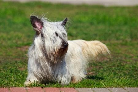 Skye Terrier dog sitting on a lawn