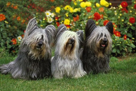 Three Sky Terrier dogs standing next to each other