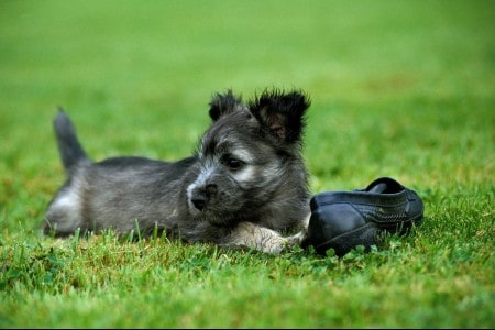 Skye Terrier pup playing with shoe