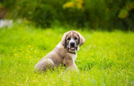 Puppy breed of Spanish mastiff playing in the grass