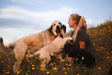 Blonde girl playing with puppy spanish mastiff in a field