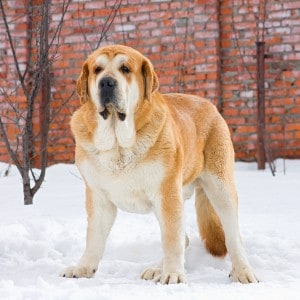 Spanish Mastiff dog standing on snow