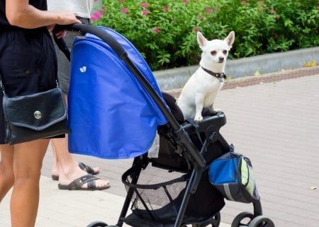 The owner carries his dog in a pram